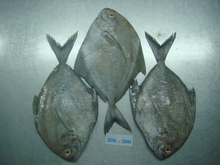 Black Pomfret fish with HIGH QUALITY, CHEAPEST PRICE!