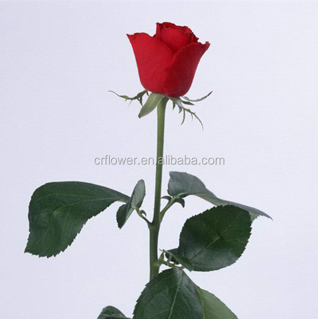 Various Classical Fresh Cut flower rose Organic Quality Kenyan Spray Rose