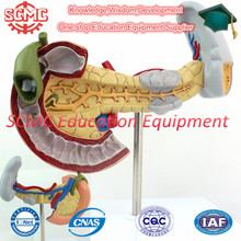 SE32785 Digestive System Labeled Model Pancreas Model with Gallbladder and Spleen and Duodenum , Science Working Models