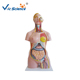 High quality 85cm medical supply cheap torso and medical models