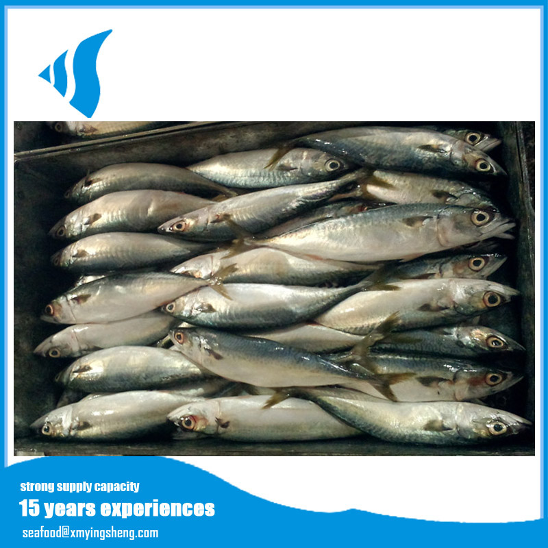 2016 Best fresh wholesale frozen scad mackerel seafood for sell
