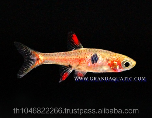 Rasbora Fish For Sale and Export