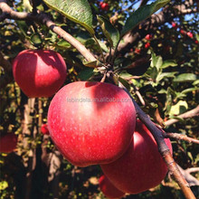 best price of apple fruit red star apple in China