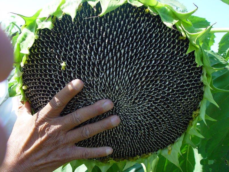 Las semillas de girasol para plantar s809 semillas for Plantar hortensias semillas