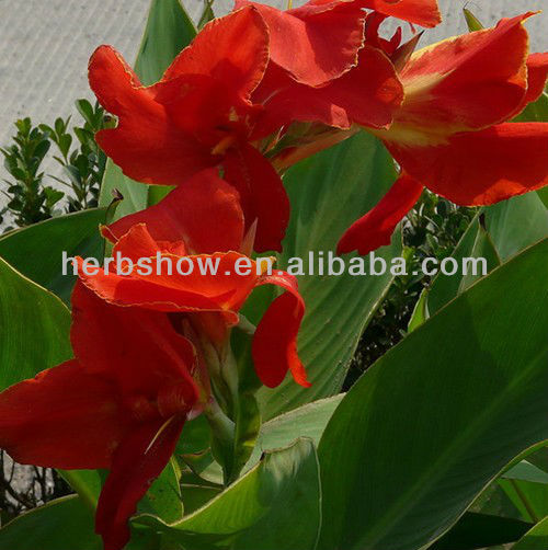 Top Quality India Shot Seeds for Plantng&Beautiful Flowers