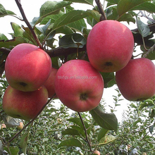 Hot Selling Fresh Qinguan Apple for Wholesale