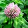 Red clover leaf Extract Powder