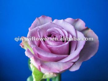 Yunnan Natural Fresh Cut Rose Flowers With High Quality Wholesale ...