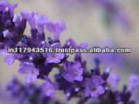 Lavender Oil Price