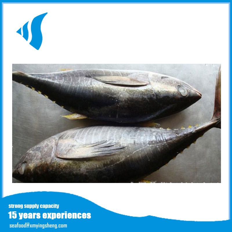 sea frozen Grade A yellow fin tuna fish all size