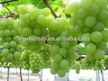 Grape Seed Extract 95%Proanthocyanidins/80% Ployphenols