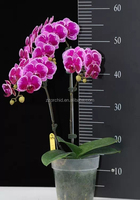 butterfly orchid live phalaenopsis from China