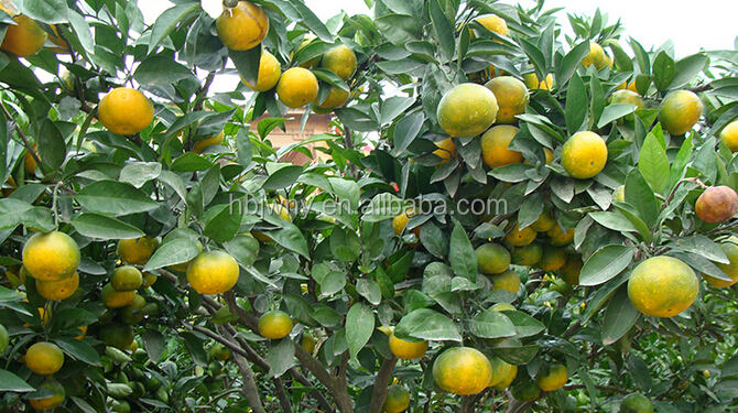 Bulk fresh quince fruits for sale