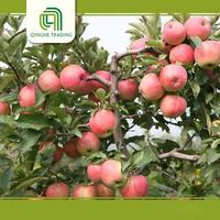 cheap top red apples fresh gala apples with low price