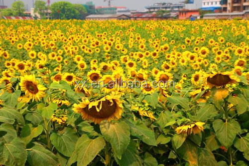 Wholesale Black Oil Sunflower Seeds Exporter Wholesale Black Oil Sunflower Seeds Importer