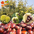 Wholesale Chestnut Raw Sweet Fresh Chestnut Kernel