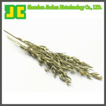 High quality Oat Grass P.E