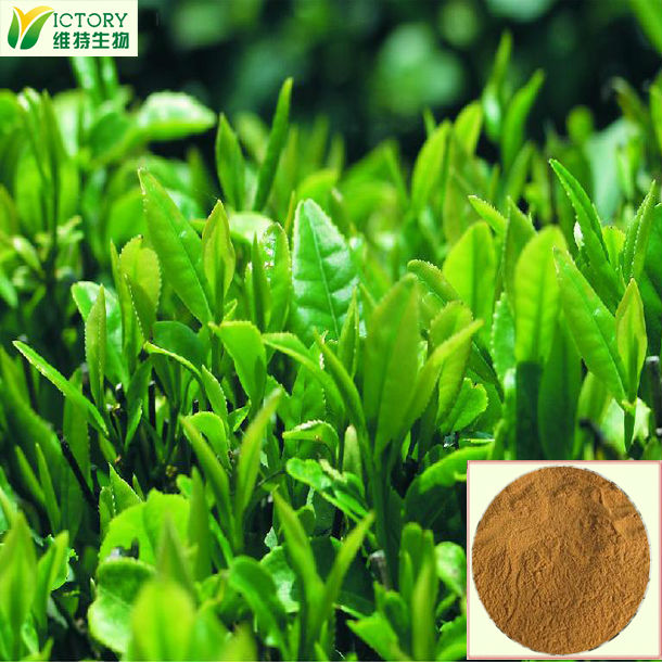 100% pure organic green tea extract,natural green tea extract powder