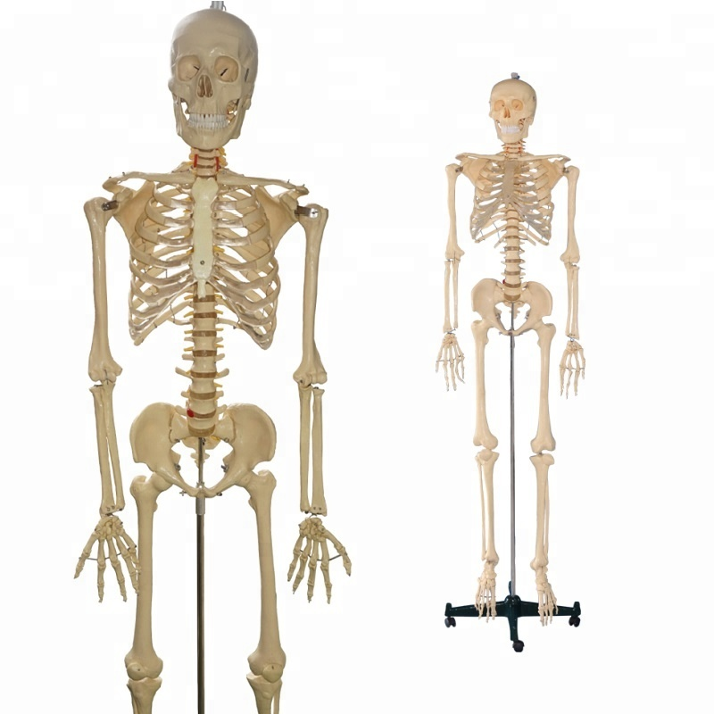 China Model Human Skeleton Wholesale Alibaba