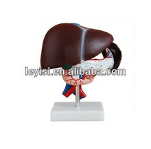 Natural big liver and spleen model,Liver and pancreas anatomical model