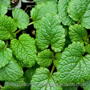 Lemon Balm Oil (Melissa officinalis) from India