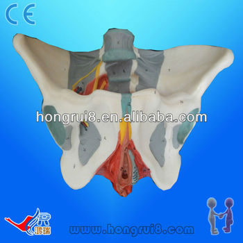 ISO advanced anatomy female pelvis with muscles and nerves female pelvis