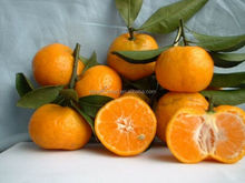 New crop fresh mandarin orange