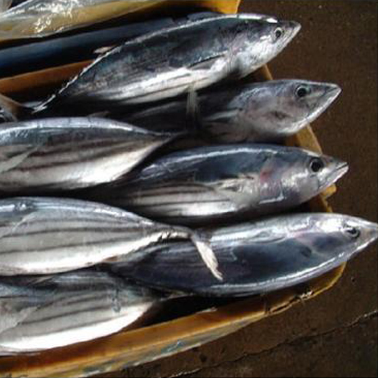 MSC Certification and Whoule Round Part skipjack tuna/Bonito