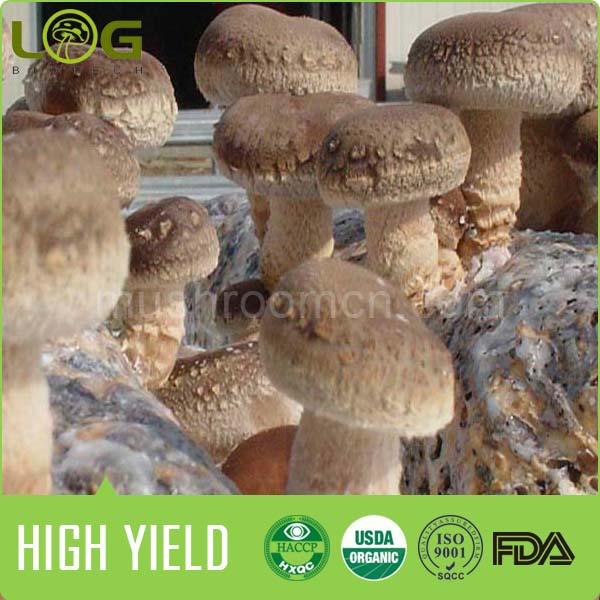 Best quality High yield mushroom logs cultivation supplier from China