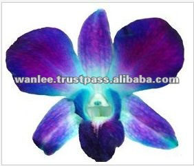 Thailand Top Quality D-014 Dendrobium Dyed Blue Orchid