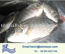 frozen red and black tilapia fish farming