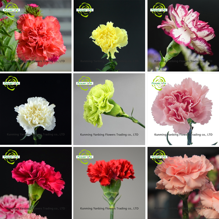 For New Year Decoration Carnation carnival And High Quality Carnation carnival Standard