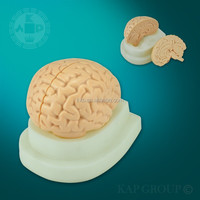 A08-005 Plastic PVC material 3d human medical education anatomical iso vivid anatomy brain model