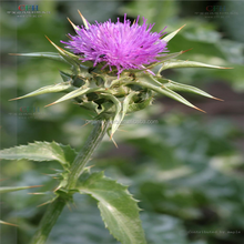 Milk Thistle Extract 85 Silymarin