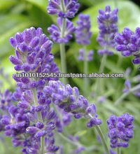 Lavender Oil for Calmness