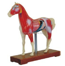 biology Horse Acupuncture Model