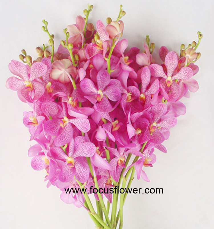 Ornamental Plants Fresh Cut Dendrobium Orchid From Kunming