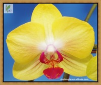 "Yellow Latest Novelty Phalaenopsis Orchid Plant in 2.5"" or 9 cm Pot Taiwan Orchid Nursery Phalaenopsis Orchid"