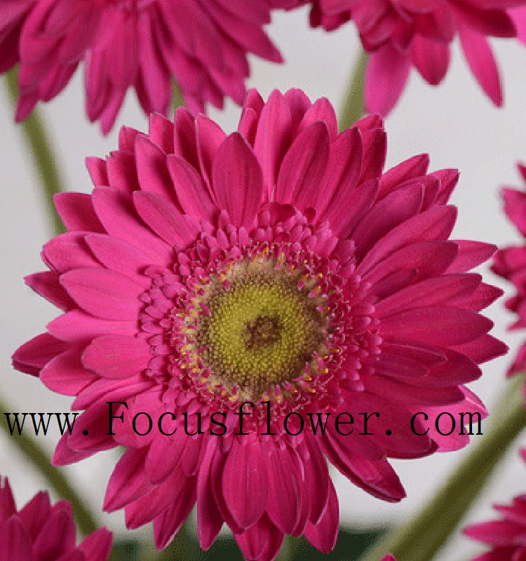 Hot sale Gerbera Flowers Export Southeast Asia Gerbera Exotic Fresh Cut Flowers festival from Kunming