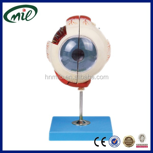 Five times of life size Human plastic eyeball model for medical teaching