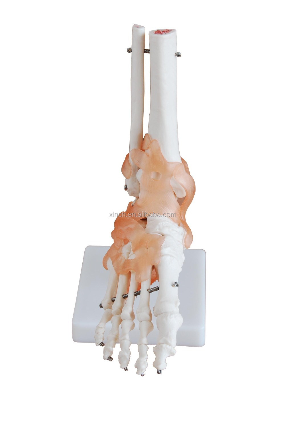 Life-Size Plastic Foot Joint Model with Ligaments