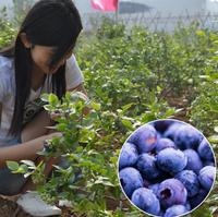 NON-GMO high quality Blueberry Seeds for planting