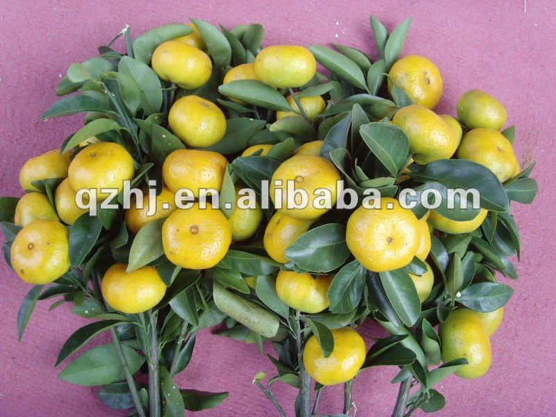 fresh citrus fruits, fresh nanfeng mandarin orange