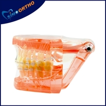 SINO ORTHO dental teeth model
