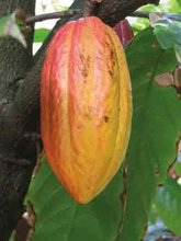 Raw cocoa beans available for sale