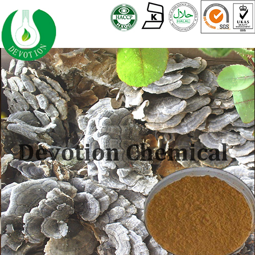 100% pure natural Yunzhi Mushroom Extract Powder/Coriolus Versicolor Extract