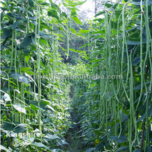 Chinese Hot Tolerant Yard Long Bean Seed for sowing