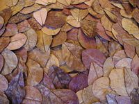 Terminalia Catappa Leaves
