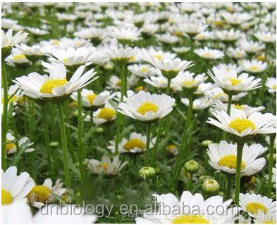 Chinese Herb Extract Feverfew P.E.Fverfew herb extract/100% natural feverfew extract0.2%, 0.8%, 1% Parthenolides