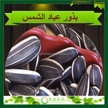 New Crop Chinese TKW 50G/270p Big Size Sunflower seeds 5009